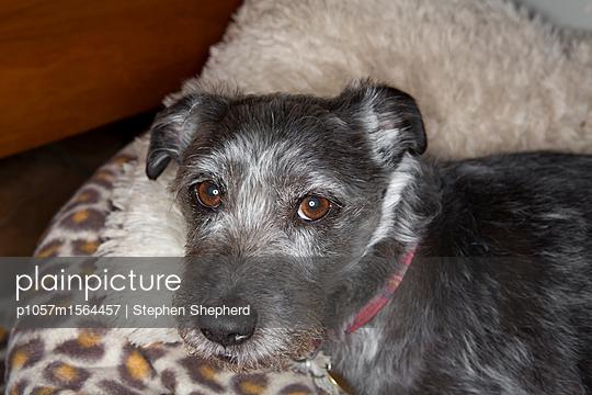 Kleiner grauer hund - p1057m1564457 von Stephen Shepherd