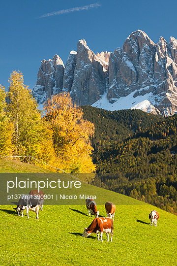 Grazing cows - p1377m1390901 by Nicolò Miana