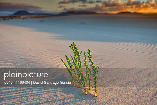 Sand dunes, near Corralejo, Fuerteventura, Canary Islands, Spain, Atlantic, Europe - p343m1168404 by David Santiago Garcia