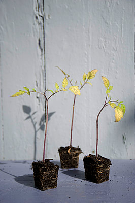 Tomatensetzlinge - p116m1461048 von Gianna Schade