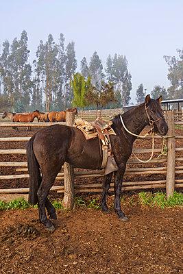 Reiterhof, Criollo Pferde - p390m1556469 von Frank Herfort