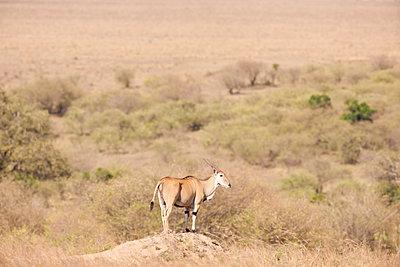 Eland on top of a termites nest - p533m1425563 by Böhm Monika