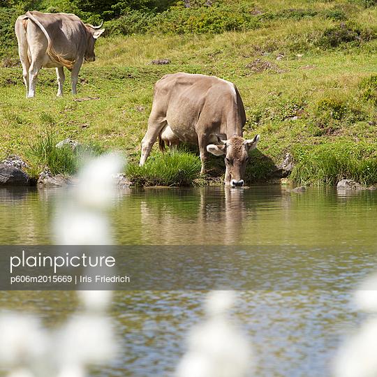 Schweizer Kuh trinkt an einem Bergsee - p606m2015669 von Iris Friedrich