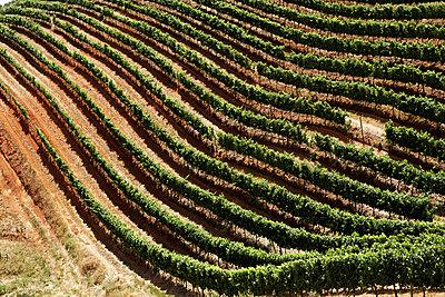 View of vineyard - p31227143f by Magnus Ragnvid