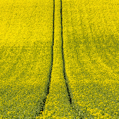 Tire tracks in rape field in France - p813m1424595 by B.Jaubert