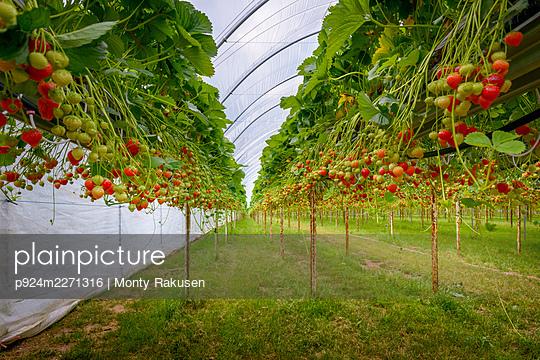 UK, Hereford, Strawberries growing at organic farm - p924m2271316 by Monty Rakusen