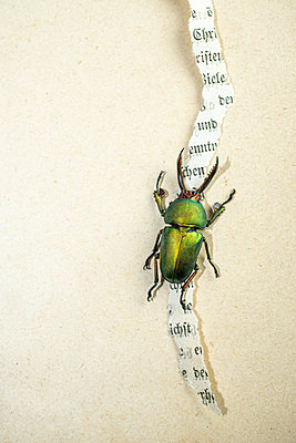 Dung beetle on ripped page - p971m2263960 by Reilika Landen