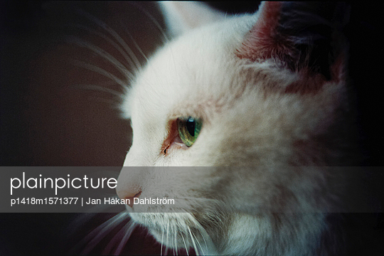 Weiße Katze - p1418m1571377 von Jan Håkan Dahlström