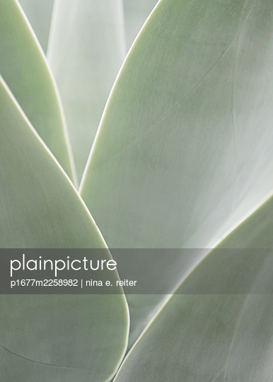 Agave, leaves, close-up - p1677m2258982 by nina e. reiter