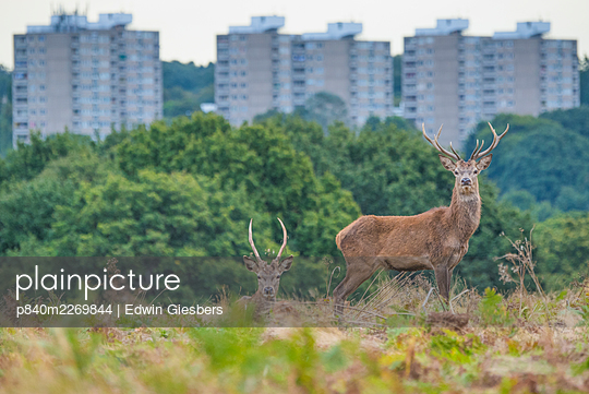 Red deer (Cervus elaphus) Roehampton flats in background, Richmond Park, London, England, UK. October. - p840m2269844 by Edwin Giesbers