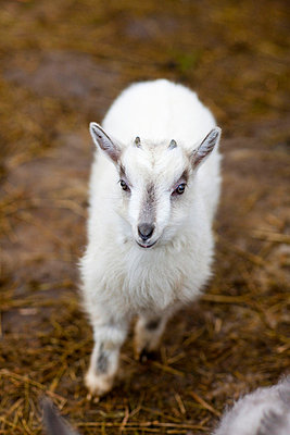 White goat kid, high angle view - p312m720243f by Per Magnus Persson