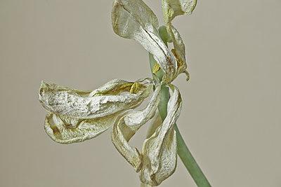 Vertrocknete Blume - p647m1113103 von Tine Butter