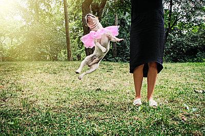Springender Hund mit Ballerina-Kostüm - p1301m1128649 von Delia Baum
