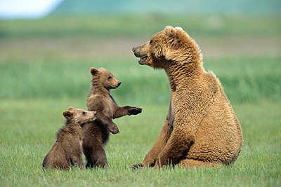Grizzly Bear 4 month old cubs trying to engage mother in play - p8843968 by Yva Momatiuk & John Eastcott