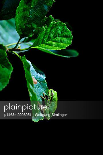 Laubfrosch, hyla arborea, Jungtier, klettert auf Erlenblatt - p1463m2228251 von Wolfgang Simlinger