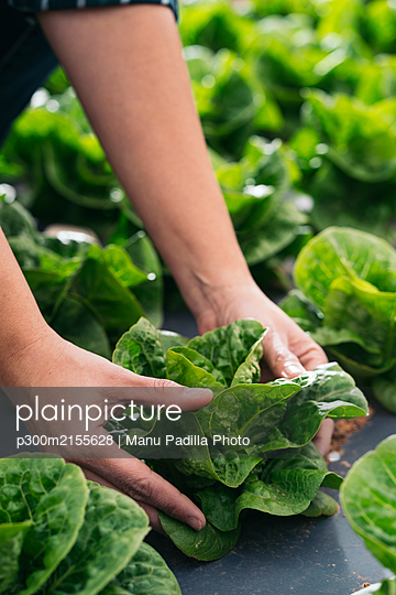 Close-up of woman's hands touching lettuce in field - p300m2155628 by Manu Padilla Photo