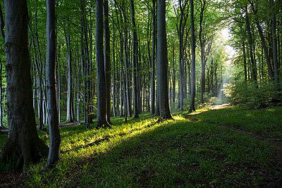 Germany, Mecklenburg-Western Pomerania, Ruegen, Jasmund National Park, Beech forest - p300m2059433 von Maria Maar