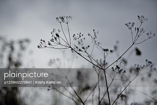 Grass at twilight - p1239m2272841 by Krista Keltanen