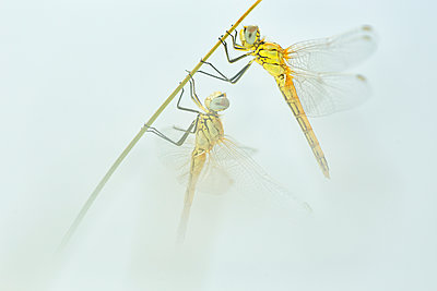 Dragonfly pair hanging at blade of grass - p300m2079182 by David Santiago Garcia