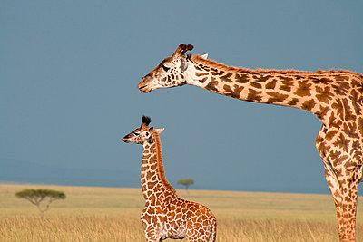 Giraffe - p5330162 by Böhm Monika