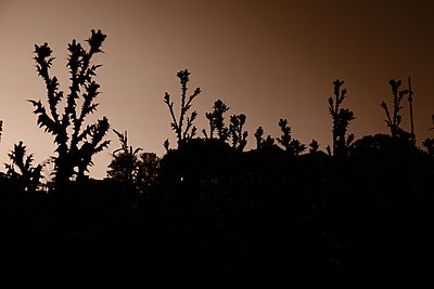 France, Thistles in sunset - p945m2182194 by aurelia frey