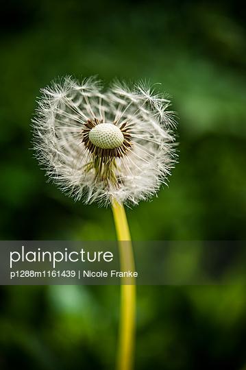 Pusteblume Nahaufnahme - p1288m1161439 von Nicole Franke
