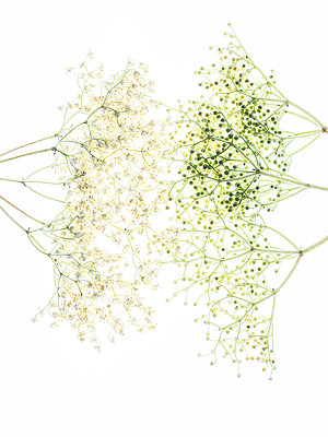 Elderflowers - p401m2185694 by Frank Baquet