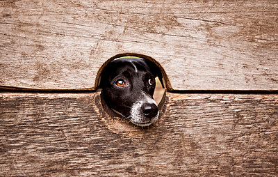Dog looking through - p8580094 by Lucja Romanowska