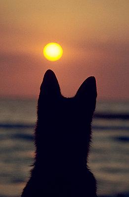 Schäferhund vor Sonnenuntergang - p2640021 von André Bitter