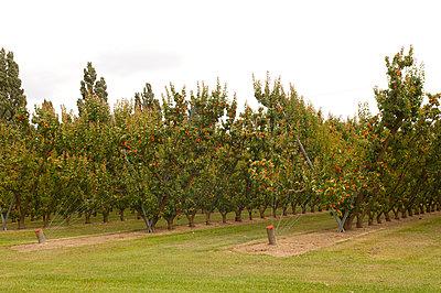 Aprikosenplantage in Neuseeland - p470m1556409 von Ingrid Michel