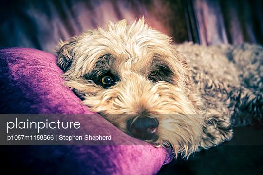 Freundlicher Hund - p1057m1158566 von Stephen Shepherd
