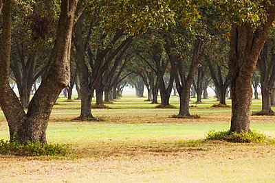 Pecan grove, ready for harvest; England, Arkansas, United States of America - p442m1085076f by Bill Barksdale