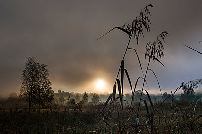 View of reeds in fog - p300m827019f by Martin Moxter