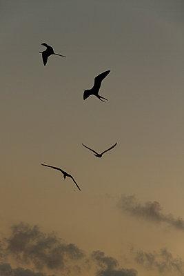 Four frigatebirds at dusk - p758m1154857 by L. Ajtay