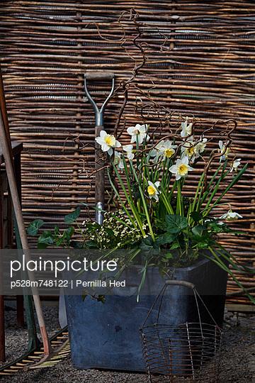 Daffodils in flower pots