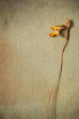 Dried daffodil flower on textured background - p1047m1564520 by Sally Mundy