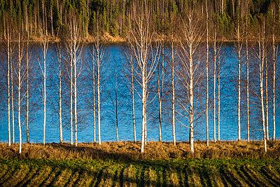 Birch trees in front of lake - p1418m1571698 by Jan Håkan Dahlström