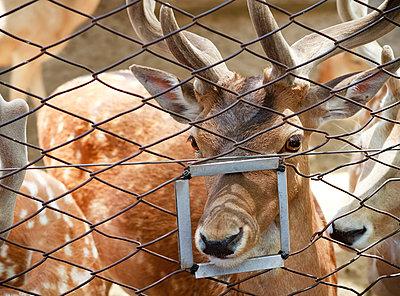 Close up of animal poking nose through feeding hole in fence - p555m1231871 by John Duarte