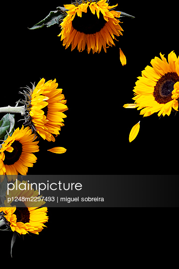 Sunflowers on black background with missing petals - p1248m2297493 by miguel sobreira