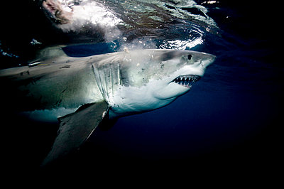 Great white shark. - p9249391f by Image Source