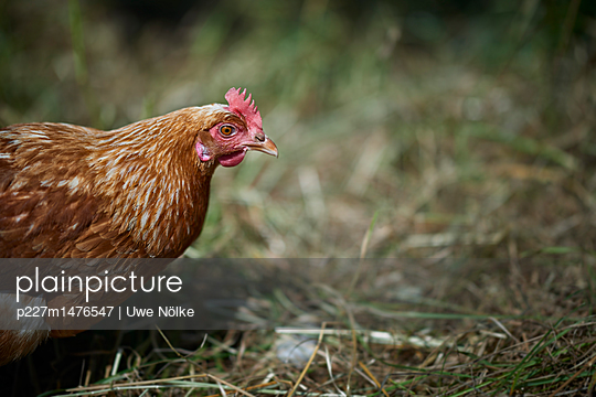 Free range chicken - p227m1476547 by Uwe Nölke