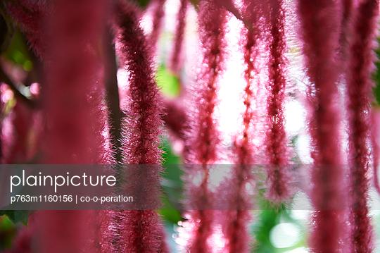 Rote Blüten Nahaufnahme  - p763m1160156 von co-o-peration