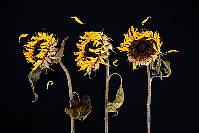Three withered sunflowers in front of black background - p300m1069056f by Axel Ganguin
