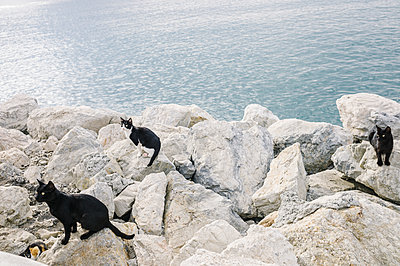 Feral cats on rocky coast - p1085m1426003 by David Carreno Hansen