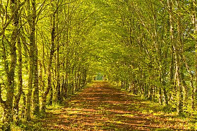 An avenue of trees in the Dordogne area of France - p871m838884 by Julian Elliott