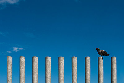 Lonely pigeon - p947m1028386 by Cristopher Civitillo