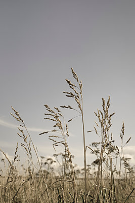 Reeds gently moving in the wind - p1228m1465579 by Benjamin Harte