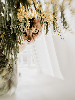 Cat behind a vase with yellow flowers - p1522m2072808 by Almag