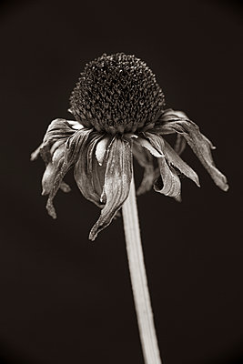 Wilted Marguerite - p815m2133419 by Erdmenger