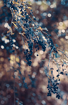 Branch with Blue Berries with Bokeh Light Behind - p1617m2237805 by Barb McKinney
